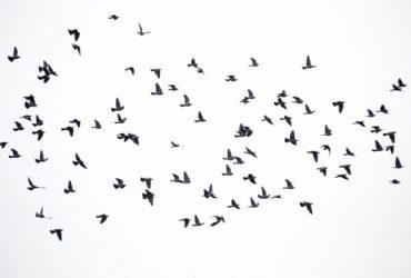 independence of bird